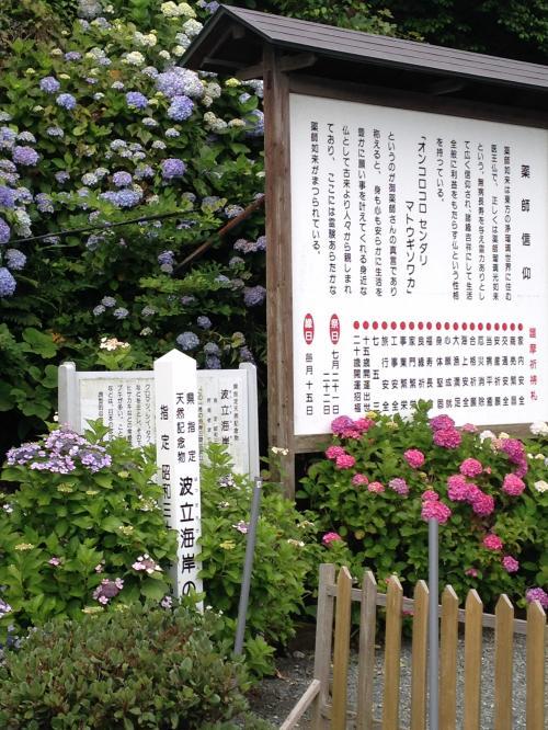 波立薬師寺の紫陽花ポタ・12