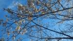20150328ソメイヨシノは少し開花