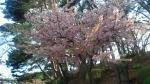 20150328早咲きの桜