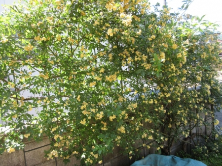 tnH27-05-21モッコウバラの花殻取り (2)