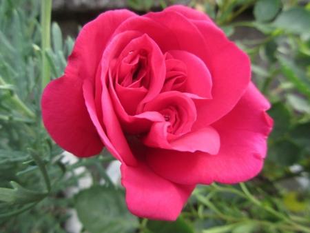 tnH27-05-28名前不明の赤いバラ (4)