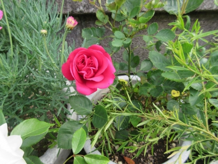 tnH27-05-28名前不明の赤いバラ (6)
