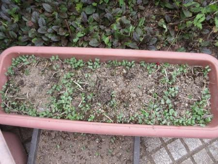 tnH27-06-30葉ボタンのこぼれ種 (2)