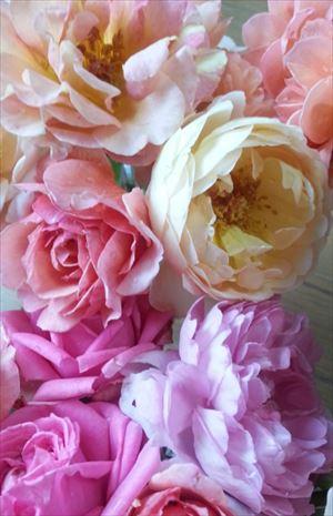 20150703かわいいバラ達_R