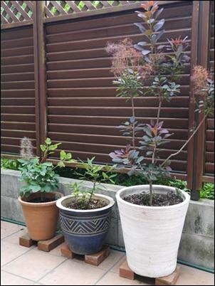スモークツリー2鉢