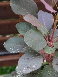 スモークツリー雨2