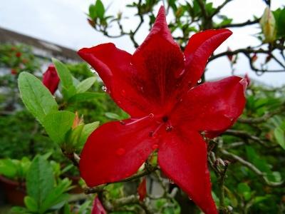 緋の鳥(赤花)DSC01712