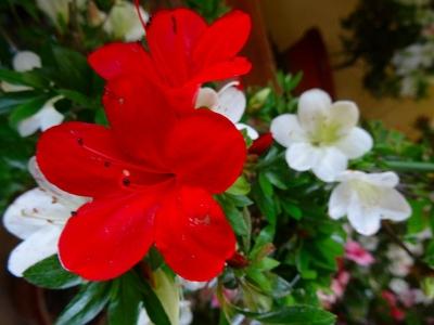 紅の天使(Kurenainotensi)DSC02075
