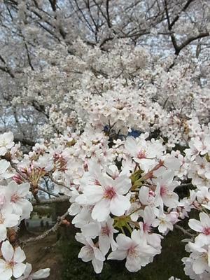 桜201502