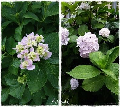 20150603_-紫陽花-horz