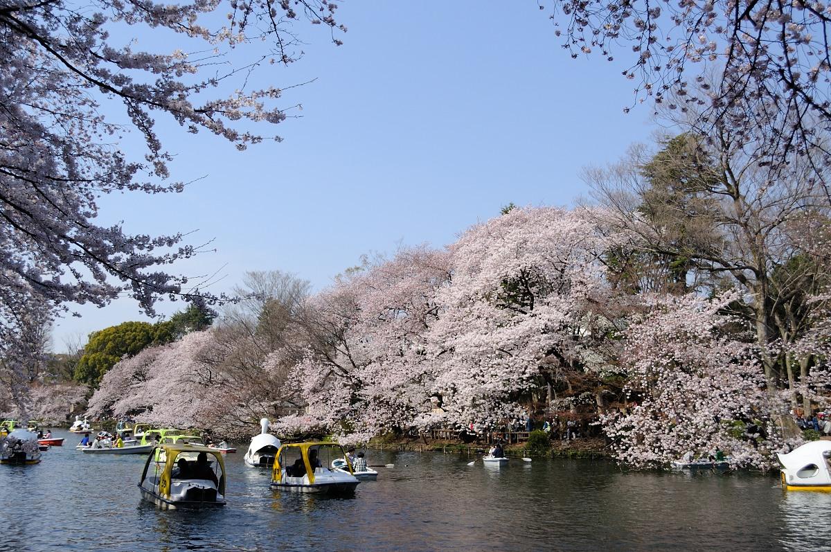 井の頭池桜__05