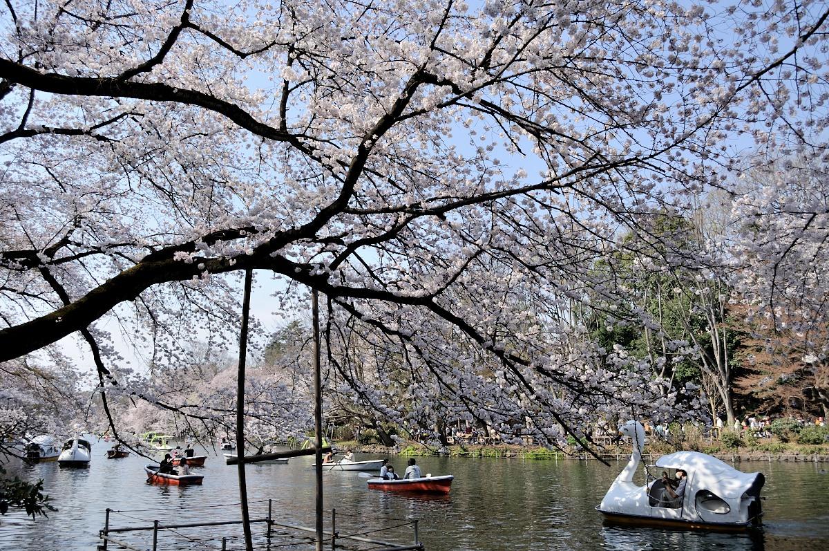 井の頭池桜__06