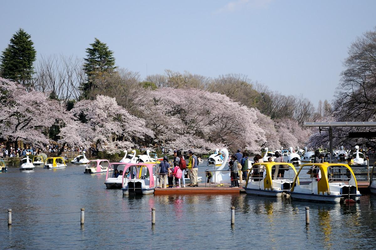 井の頭池桜__03