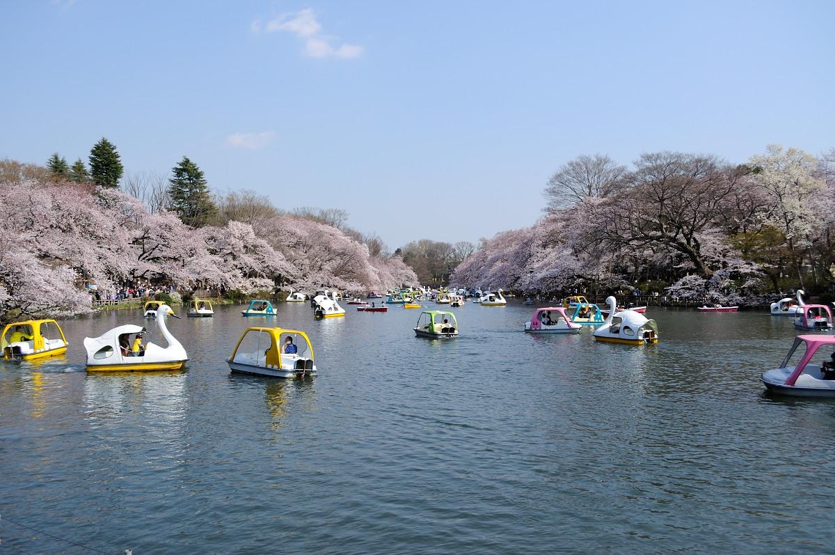 井の頭池桜__04