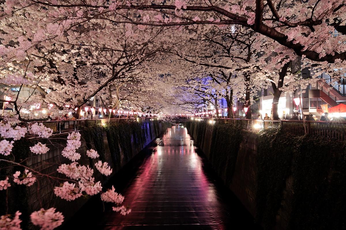 目黒川桜_