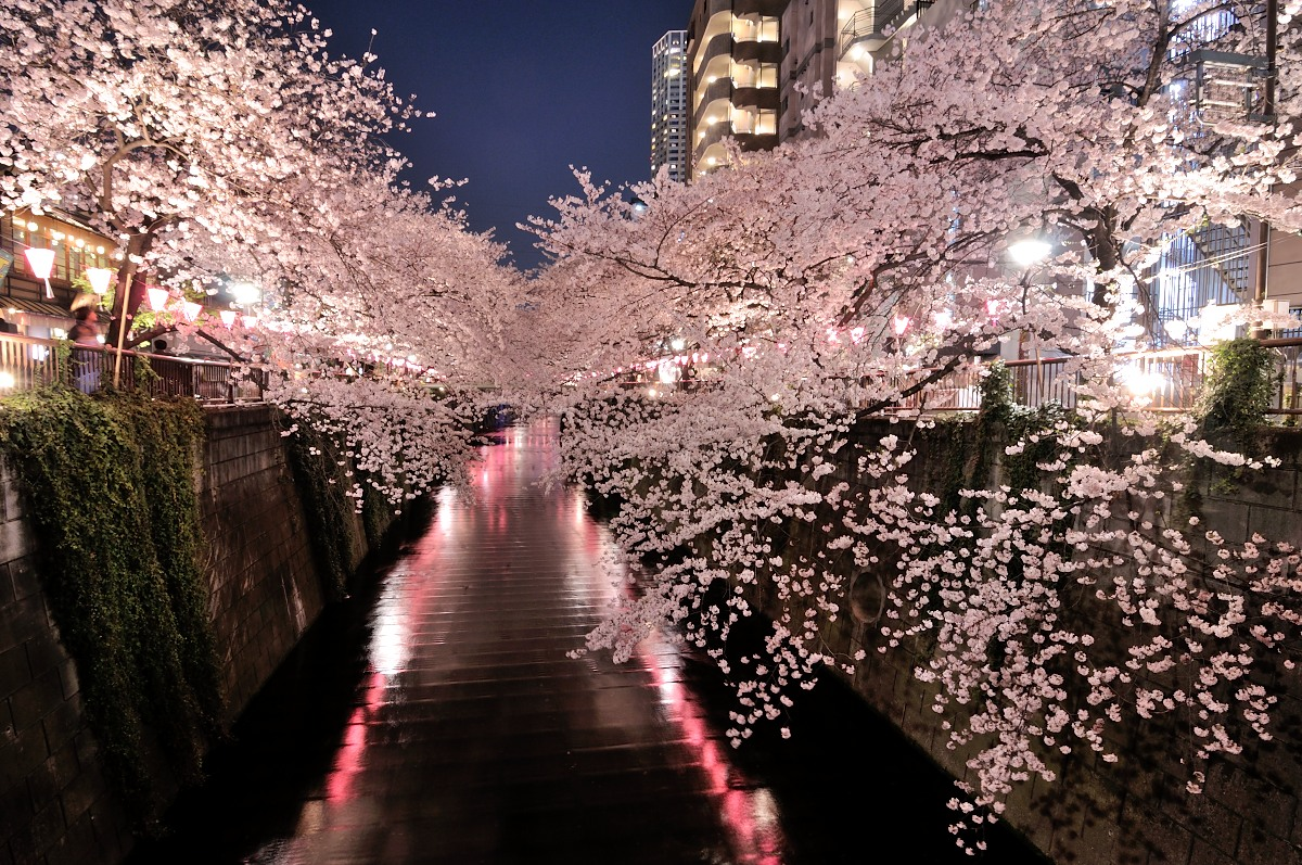 目黒川桜__03