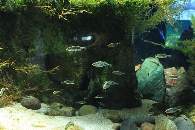 どこにでもいそうな川魚