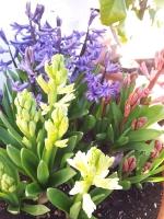 hyacinth0215