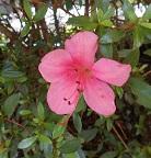 きれいなピンク!