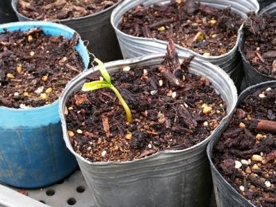 柿の種が発芽