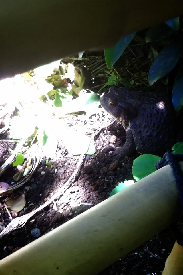 陽を避ける流浪のヒキガエル