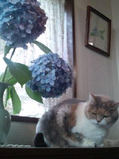 紫陽花とみーこ