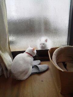 白猫さら1