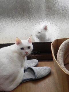 白猫さら2