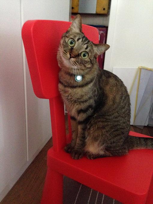 2015年06月01日撮影のキジトラ猫クーちゃん