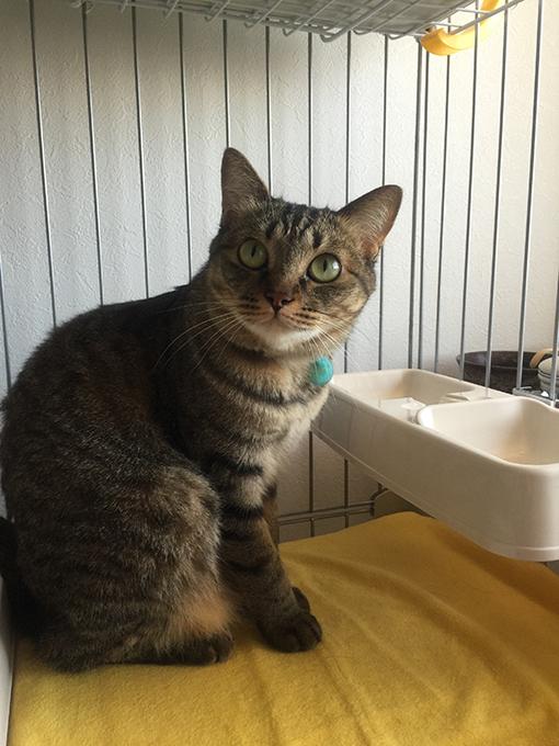 2015年06月07日のキジトラ猫クーちゃん