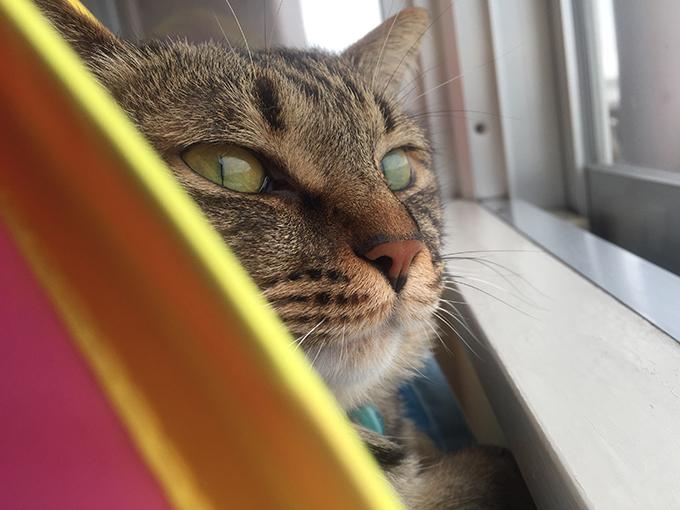 2015年06月09日のキジトラ猫クーちゃん