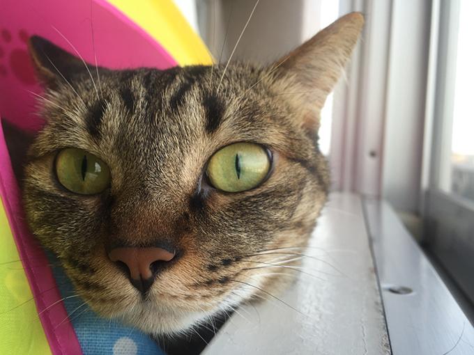 2015年06月10日のキジトラ猫クーちゃん