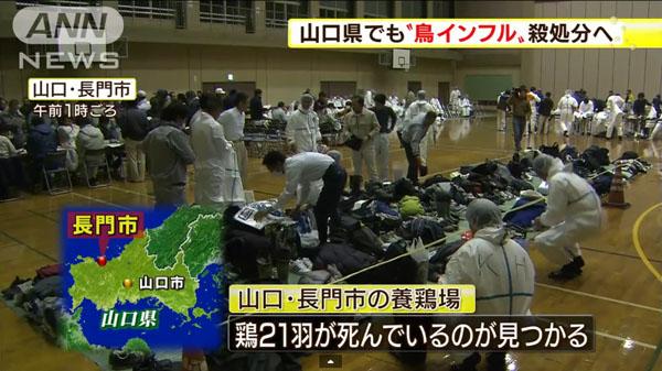 00482_yamaguchi_tori_influenza_201412_02.jpg