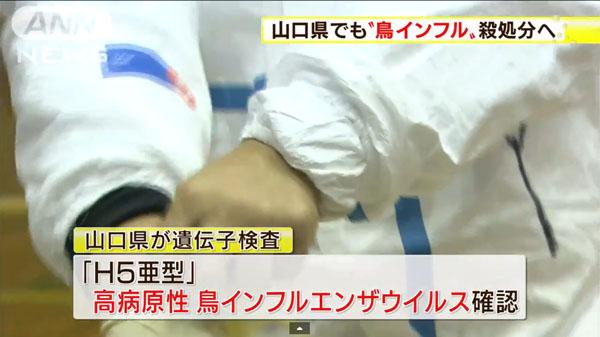 00482_yamaguchi_tori_influenza_201412_03.jpg