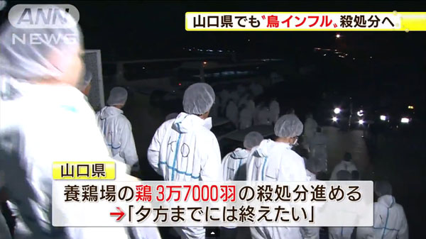 00482_yamaguchi_tori_influenza_201412_04.jpg
