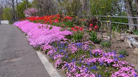 札幌伏見稲荷神社&山麓通り「芝桜」