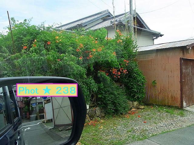 近所の芙蓉