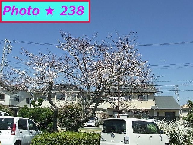 20151の桜①