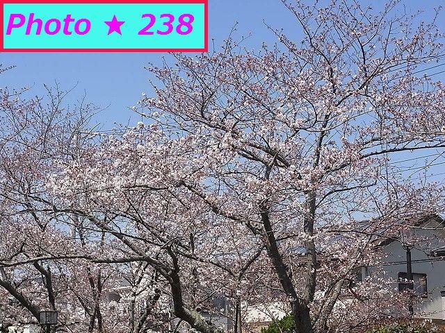2015の桜②