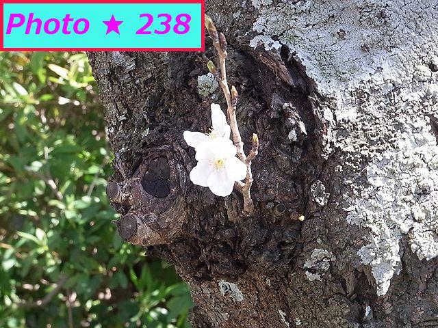 2015の桜③