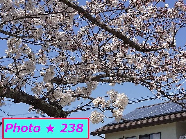 2015の桜④