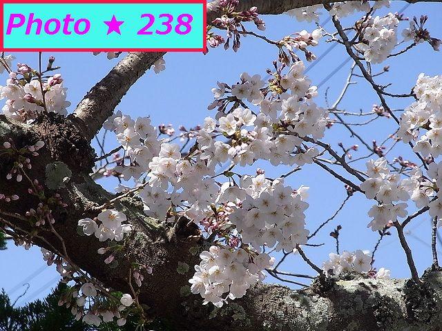 2015年の桜⑥