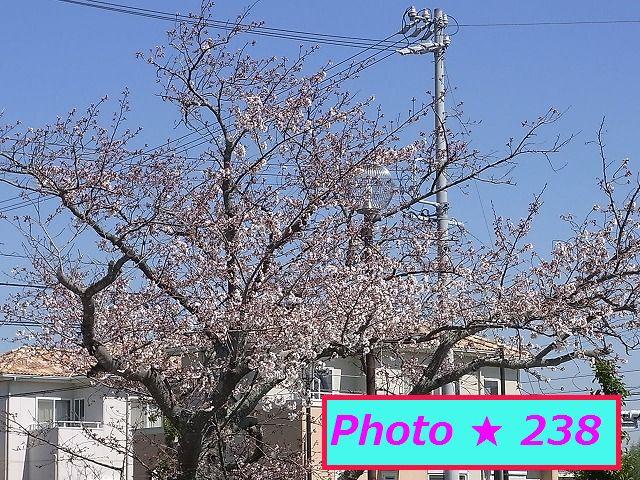 2015年の桜⑦