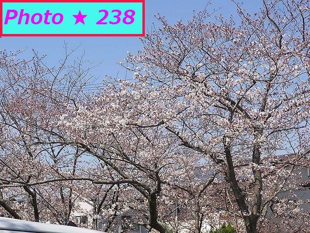 2015年の桜⑧