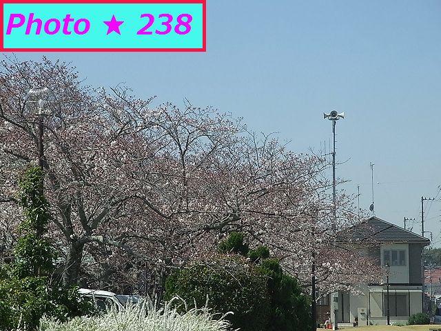 2015年の桜⑨