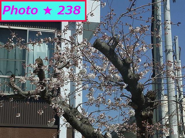2015年の桜⑪