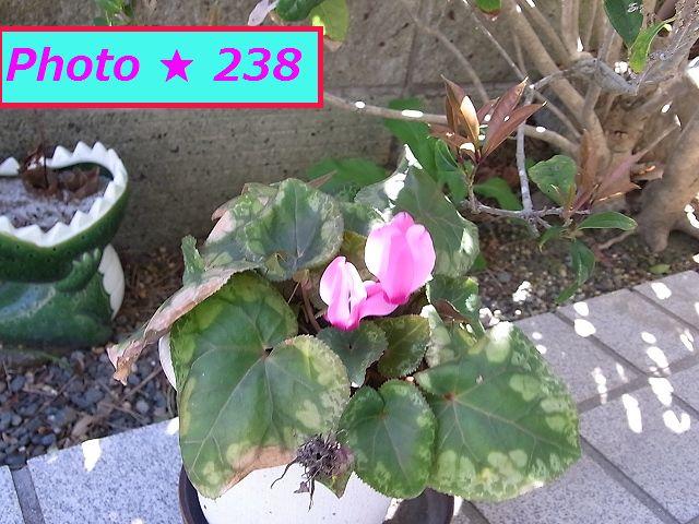 シクラメン二本目の花