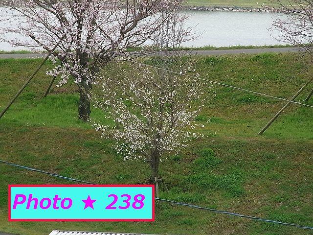 3不/29の桜②