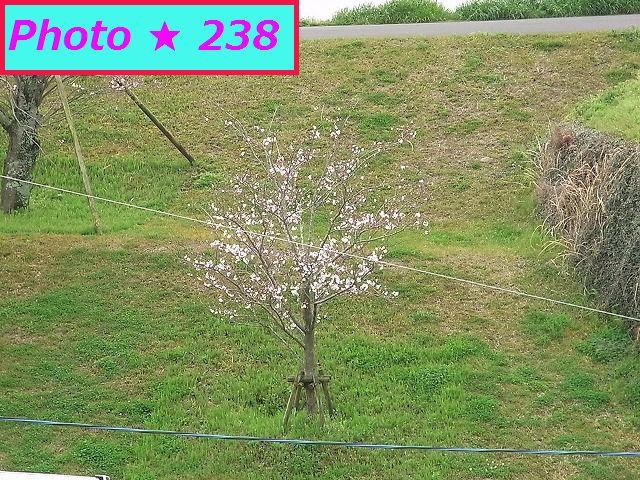 3/29の桜③