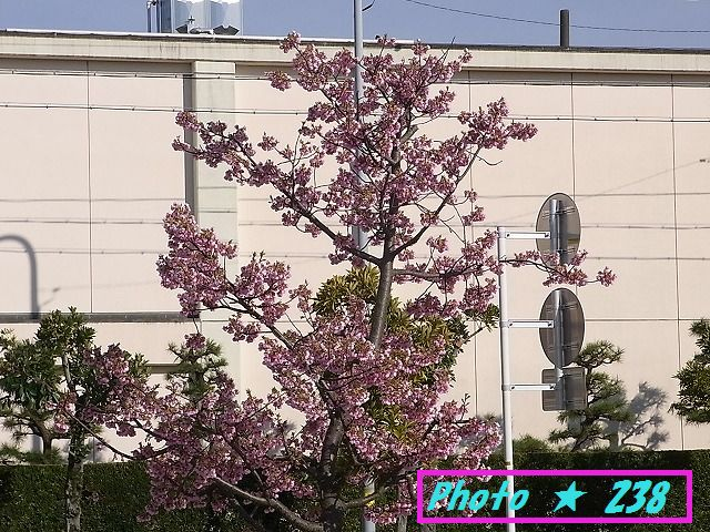 公園の河津桜①